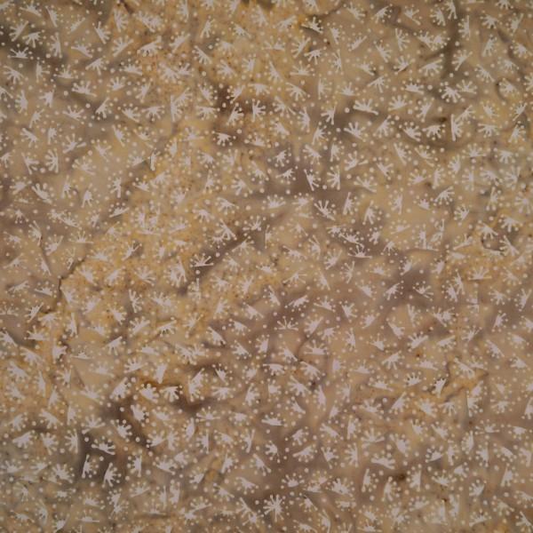 BW-4-9844 Pearl Wheat